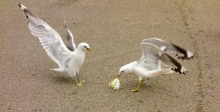 seagulls je rozlewającego lody w północnym Canada Zdjęcie Stock