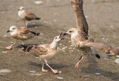 Seagulls kłóci się nad jedzeniem na brzeg Czarny morze Zdjęcia Stock
