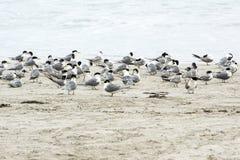 Seagulls, Kangaroo Island Stock Images