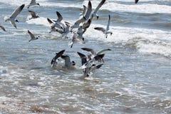 Seagulls karmi w płytkiej kipieli obrazy royalty free