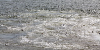 Seagulls Karmi w statku Backwash fotografia stock