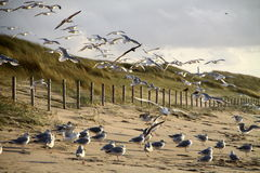 Seagulls at Kijkduin Royalty Free Stock Photos