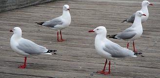 Seagulls längs strandpromenaden Arkivfoton