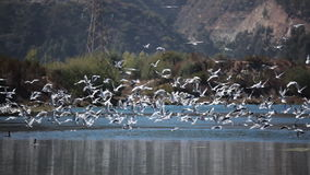 Seagulls on a Lagoon stock footage