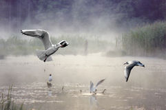 Seagulls in lake Royalty Free Stock Images
