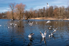Seagulls on the lake in Gatchina Park. Russia Stock Image