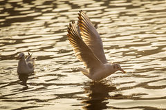 Seagulls on lake looking for food at sunrise Stock Photography