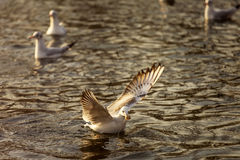 Seagulls on lake looking for food at sunrise Royalty Free Stock Photo