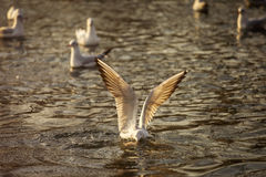 Seagulls on lake looking for food at sunrise Royalty Free Stock Images