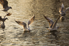 Seagulls on lake looking for food at sunrise Stock Photos