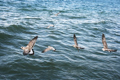 Seagulls on lake Sevan Royalty Free Stock Photos