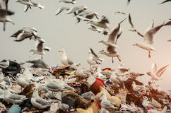 Seagulls on a landfill heap Royalty Free Stock Images