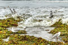 Seagulls landing on masses of seaweed. Red- and black-billed seagulls exploring seaweed washed ashore by a storm, looking for edible animals. Bay of Plenty, New royalty free stock images
