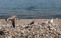 Seagulls Landing on Pebble Beach Stock Photos