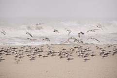 Seagulls (laridae) Stock Photo