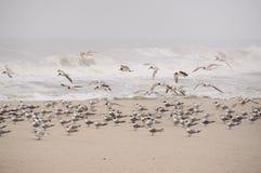 Seagulls (laridae) Arkivfoto