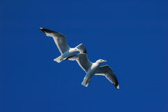 Seagulls (Larus marinus) Royalty Free Stock Images