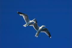 Seagulls (Larus marinus) Royalty Free Stock Images