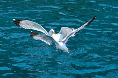 Seagulls Larus michahellis flies over the sea and hunting down fish
