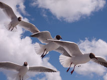 Seagulls Larus ridibundus Stock Photo