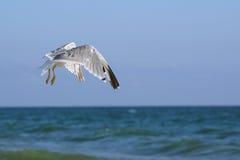 Seagulls lat. Larus argentatus in flight over sea Stock Images