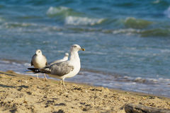 Seagulls lat. Larus argentatus in flight on the sandy beach Stock Image
