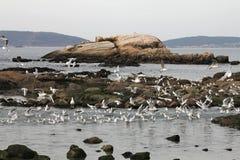 Seagulls lata blisko morza, patrzeje dla jedzenia Obrazy Stock