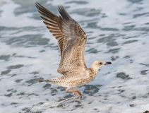 Seagulls lata nad fala Czarny morze w Sochi, Rosja Obrazy Royalty Free