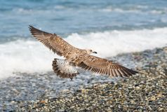 Seagulls lata nad fala Czarny morze w Sochi, Rosja Fotografia Royalty Free