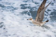 Seagulls lata nad fala Czarny morze w Sochi, Rosja Obraz Stock