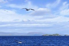 Seagulls lata nad intensywny b??kitny morze w Iceland obrazy royalty free