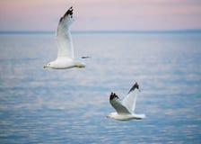 Seagulls lata nad Jeziornym przełożonym przy zmierzchem obrazy royalty free