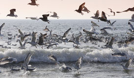 Seagulls lata nad oceanem Fotografia Stock