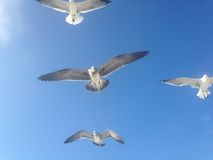 Seagulls Lata przy Long Beach Obrazy Stock