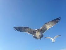 Seagulls Lata przy Long Beach Zdjęcie Stock