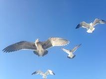 Seagulls Lata przy Long Beach Zdjęcie Royalty Free