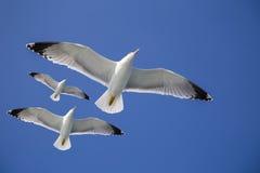 Seagulls lata w błękicie rozjaśniają niebo i jaskrawego słońce Obrazy Stock