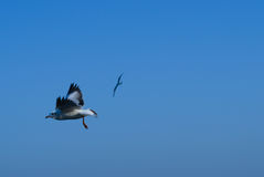 Seagulls lata w niebie Zdjęcia Stock