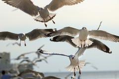 Seagulls lata w niebo nauki imieniu są Charadriiformes Laridae Selekcyjna ostrość i płytka głębia pole Zdjęcia Royalty Free