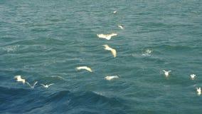Seagulls lata w otwartym morzu zbiory wideo