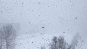 Seagulls latają w Marzec 2019, Ryskim, Latvia w wietrznym dniu podczas śnieżycy z mgłą zbiory