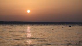 Seagulls latają nad jeziorem przy półmrokiem i nurkują w wodę zbiory