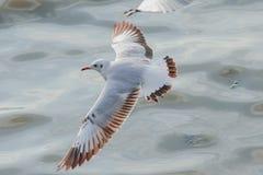 Seagulls lataj? nad morzem zdjęcie stock