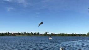 Seagulls latają nad stawem zbiory wideo