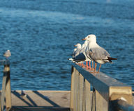 Seagulls in line Royalty Free Stock Photo