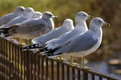 Seagulls lined Royalty Free Stock Image
