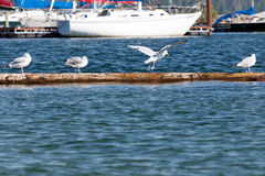 Seagulls on a Log Royalty Free Stock Images