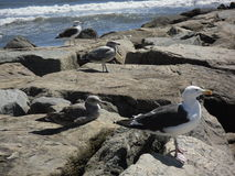 Seagulls on Long Island. Stock Images