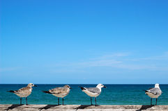 Seagulls Looking At Ocean. Seagulls perched on dock looking out at the ocean Stock Images