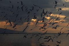 Seagulls in the sunset royalty free stock photo